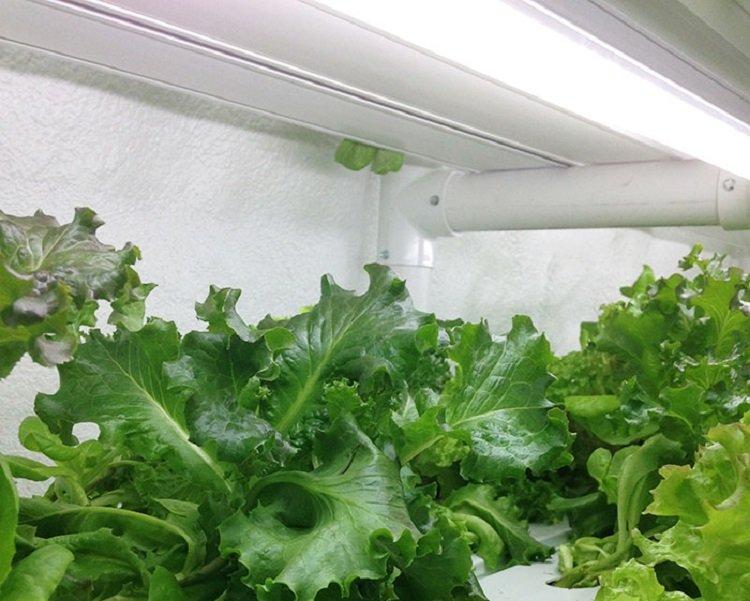 Cropbox-lettuce.jpg